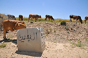 Free grazing cattle graze a field after harvest. Photographed in the Northern Negev desert, Israel