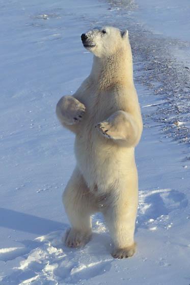 Polar Bear, (Ursus maritimus) Standing up on hind legs. Churchill, Manitoba. Canada.