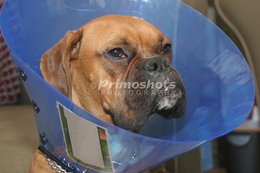 An injured boxer puppy wearing a platic cone.