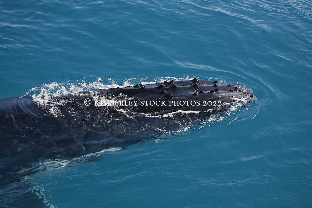 A humback whale calf surfaces next to a charter boat.