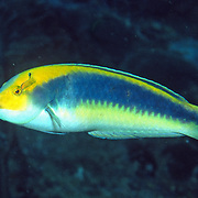 Yellowcheek Wrasse constantly swim about reefs usually deeper than 60 ft. in Tropical West Atlantic; picture taken Tobago.