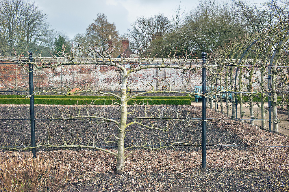 Espalier trained Pyrus communis 'Merton Pride' (pear 'Merton Pride')  in the walled garden at West Dean Gardens