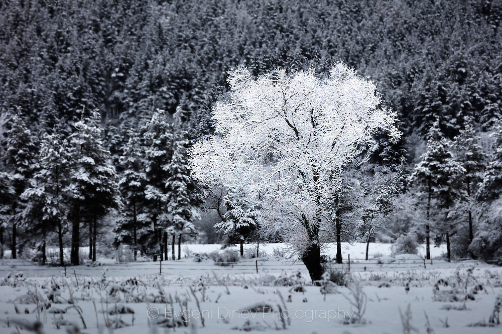 Snowy white tree