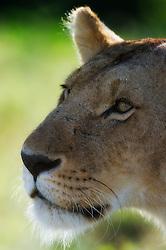 Lion (Panthera leo) in Masai Mara, Kenya