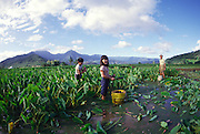 Hanalei Taro Fields, Hanalei, Kauai, Hawaii (editorial use only, no model release)<br />