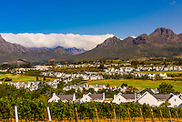 Vineyards during harvest time at Kleine Zalze Wines (De Zalze Golf Club in background), Stellenbosch, Cape Winelands, South Africa.