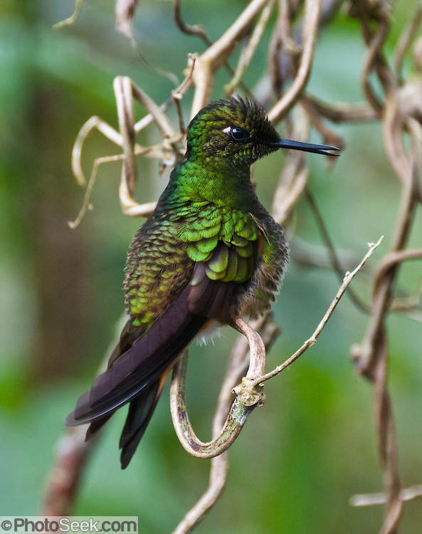 "A Buff-tailed Coronet (Boissonneaua flavescens) hummingbird lives in Bellavista Cloud Forest Reserve, in the ""Mindo Area of International Importance for Birds,"" Tandayapa Valley, near Quito, Ecuador, South America. This species is found in Colombia, Ecuador, and Venezuela."