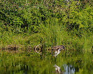 Osprey diving with feet foward in strike position just before striking water to capture fish, © 2015 David A. Ponton