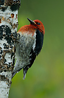 Red-breasted Sapsucker (Sphyrapicus ruber) drilling taps on a birch tree, Courtenay, Vancouver Island, Canada   Photo: Peter Llewellyn