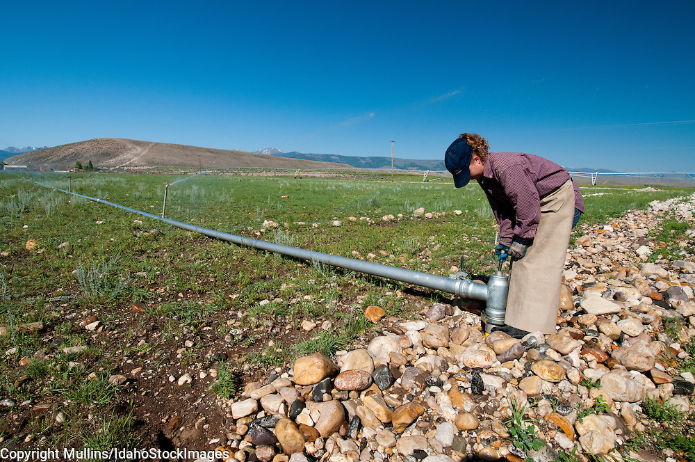 Teenage girl changing sprinkler line in a pasture on a ranch in the Lemhi Valley Idaho