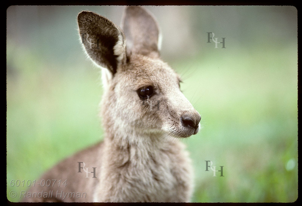Smallest and furriest of the kangaroos, this wallaroo, or euro, glances to side; Wagga Wagga,NSW Australia