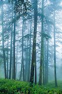 Trees in Fog, Shimla, India