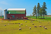 Sheep on farm<br />