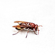 close up of an Oriental hornet, (Vespa orientalis) on white background. Oriental hornet, is a social insect of the family Vespidae. The Oriental hornet lives in seasonal colonies consisting of caste system dominated by a queen. The hornet builds its nests underground and communicates using sound vibrations. The hornet has a yellow stripe on its cuticle (exoskeleton) which can absorb sunlight to generate a small electrical potential. Photographed in Israel in November