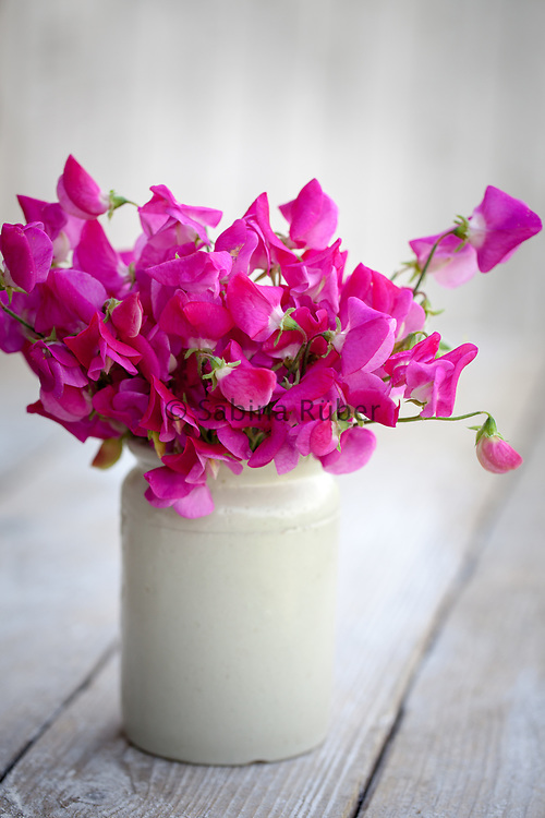 Lathyrus odoratus 'Annie B. Gilroy' - sweet pea arrangement in small earthenware jar