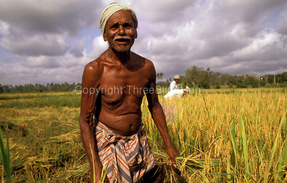 Sri Lanka. Harvest time.