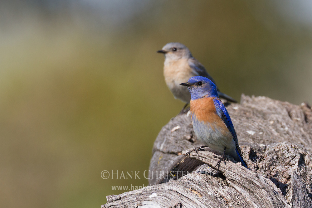 A breeding pair of western bluebirds perch together on the top of a large log