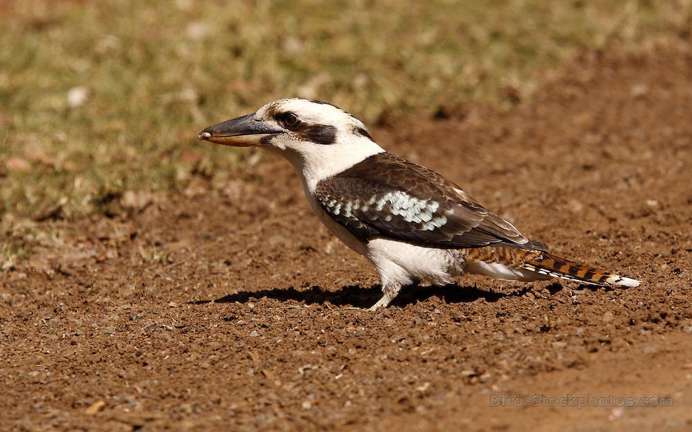 Laughing Kookaburra, Dacelo novaeguineae, Australia, by Jonathan Rossouw