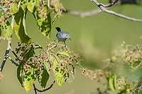 Blue-gray gnatcatcher (Polyoptila caerulea) peched in a tree, Ajijic, Jalisco, Mexico