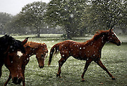 04/7/07 ---   Horses react to the snowfall in Granbury, TX on April 07, 2007. [ snow ].04082007xNEWS