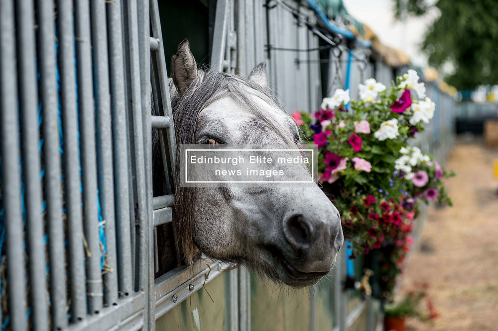 6 year old Highland pony Skye settles in to his stall during final preparations for this years Royal Highland Show at Ingliston near Edinburgh.<br /> <br /> © Dave Johnston/ EEm
