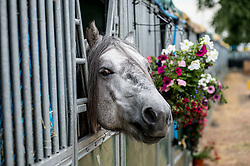 6 year old Highland pony Skye settles in to his stall during final preparations for this years Royal Highland Show at Ingliston near Edinburgh.<br /> <br /> &copy; Dave Johnston/ EEm