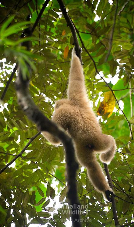The endangered White-handed gibbon (Hylobates lar) in Kaeng Krachan National Park, Thailand.