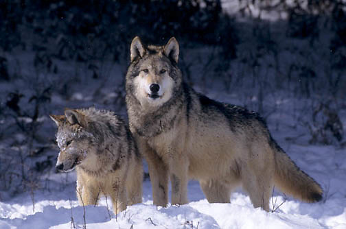 Gray Wolf, (Canis lupus) Pair. Winter. Montana. Captive Animal.