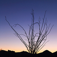 Ocotillo plant in silhouette at sunset, Hells Gate Wilderness Area, near Phoenix, Arizona