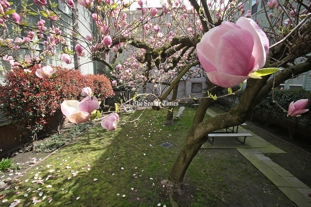 A magnolia tree stands in the courtyard of the Williamsburg Court Apartments. (Greg Gilbert / The Seattle Times)