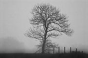 Solitary tree in dense fog // Een eenzame boom in dichte mist.