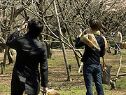 young couple using there cell phone as camera to take a picture of first cherry blossom