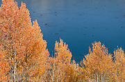 A group of American Coots dot Grant Lake below autumn quaking aspen (Populus tremuloides), fall, Inyo National Forest, California