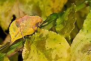 Yellow-leaf Katydid (Agaurella mirabilis)<br /> Yasuni National Park, Amazon Rainforest<br /> ECUADOR. South America
