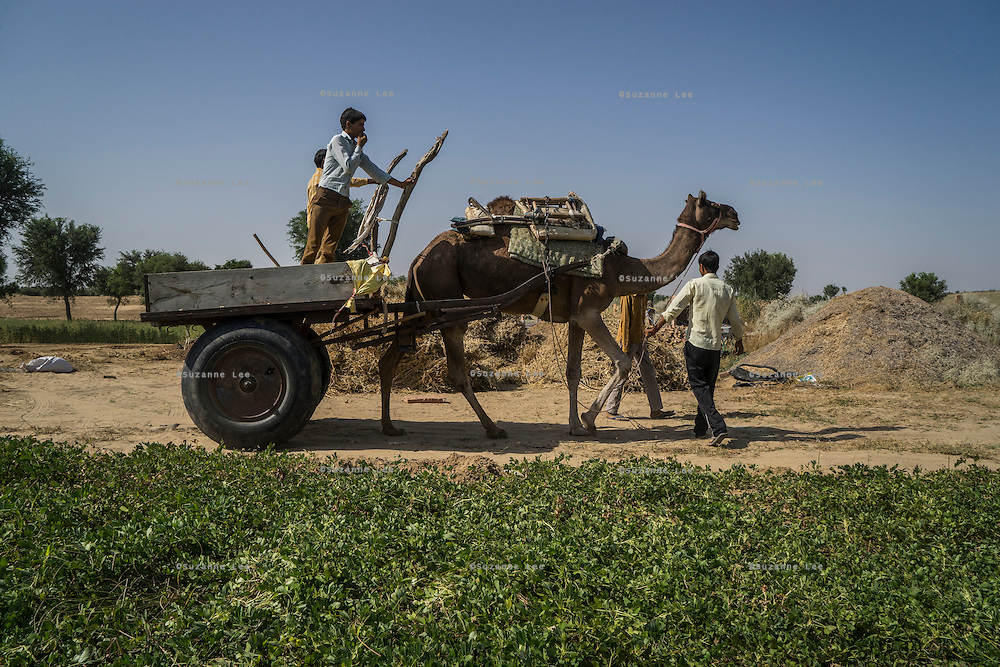 A camel cart is manoeuvred through the fields to collect harvests in Runiya Badabaas village, Bikaner, Rajasthan, India on October 23, 2016. Non-Profit Organisation Technoserve works with Guar farmers in Bikaner to provide technical farming knowledge to them, improving their crop yield through good agricultural practices. Photograph by Suzanne Lee for Technoserve