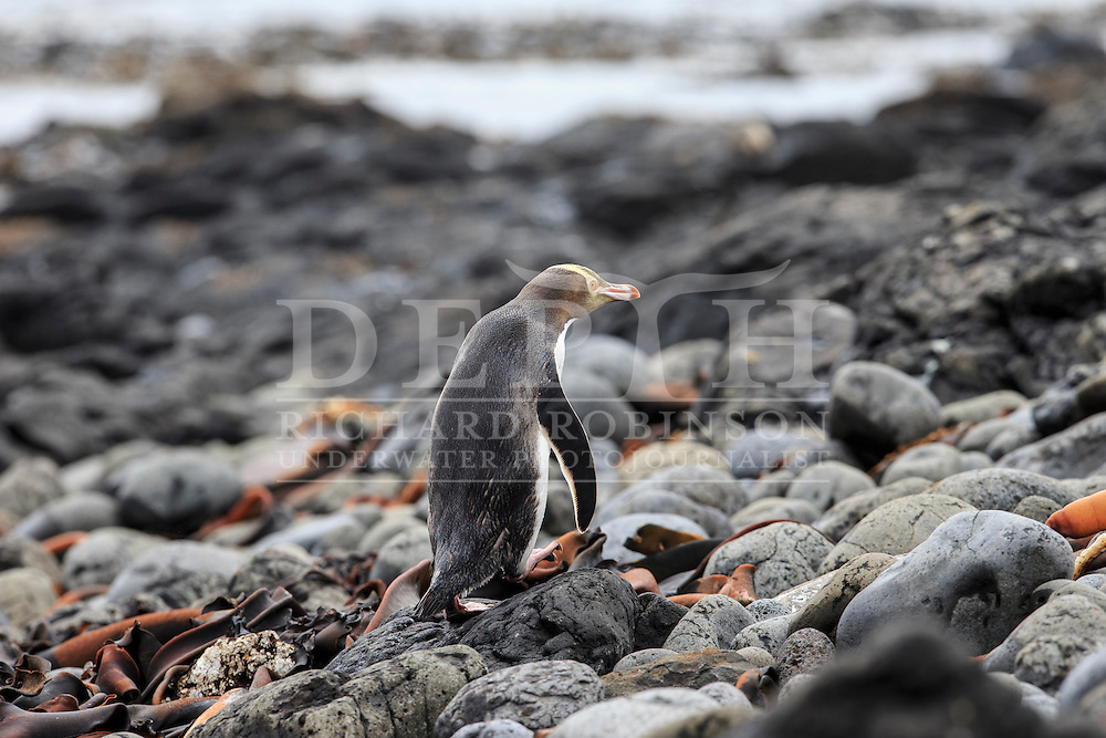 Megadyptes antipodes (Yellow eyed penguin) at Derry Castle Reef, Enderby Island, Auckland Islands, New Zealand.<br /> 06 January 2016<br /> Photograph Richard Robinson &copy; 2016