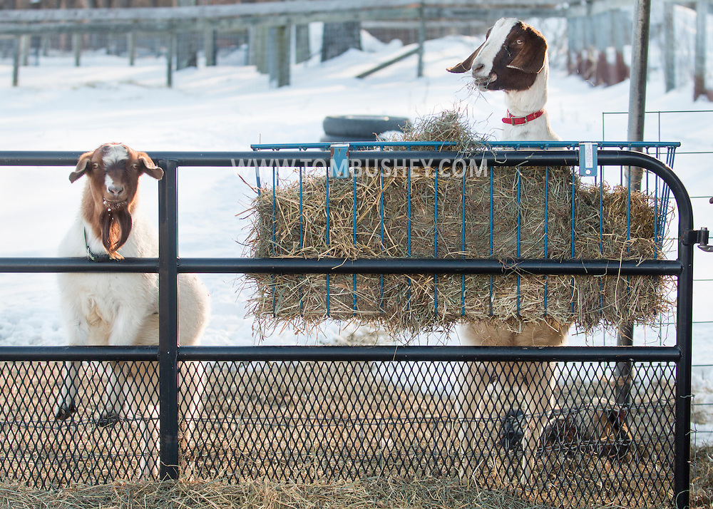 Goshen, New York - Goat stand on their hind legs to eat and stare  at Banbury Cross Farm on Feb. 20, 2015.