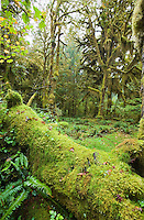 Moss covered trees and logs in the Hoh rain forest, Olympic National Park, Washington