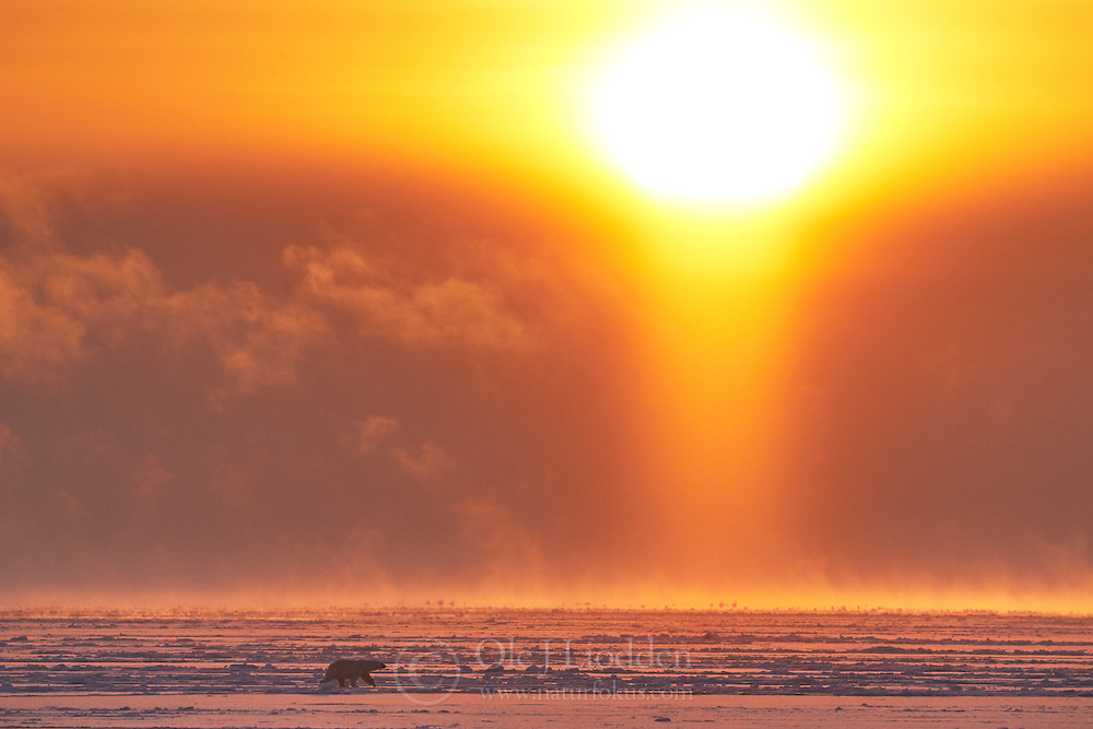 Polar bear (Ursus maritimus) in April midnight sun in the pack ice at 80 degree North, Svalbard, Norway