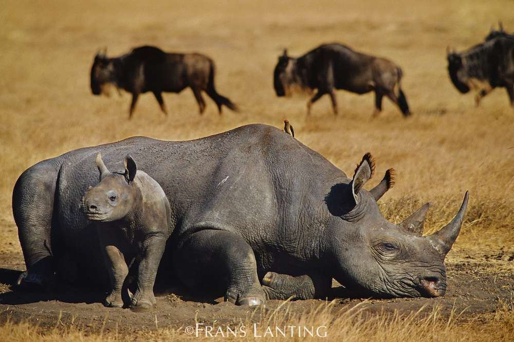 Black rhinoceros mother and young, Diceros bicornis, Ngorongoro Conservation Area, Tanzania