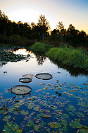 The Oregon Garden in Silverton, Oregon. The A-Mazing Water Garden. Lily pads and water grasses in a pond are part of the water feature display.