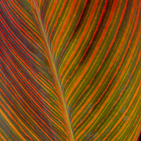 A colorfully variegated leaf at Washington, DC's Aquatic Gardens.