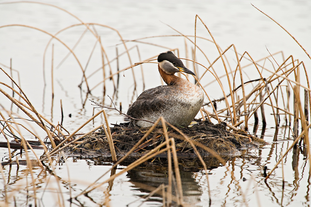 A male Red-necked Grebe watches over the nest while his mate is away feeding in Potter Marsh near Anchorage in Southcentral Alaska. Spring. Morning.