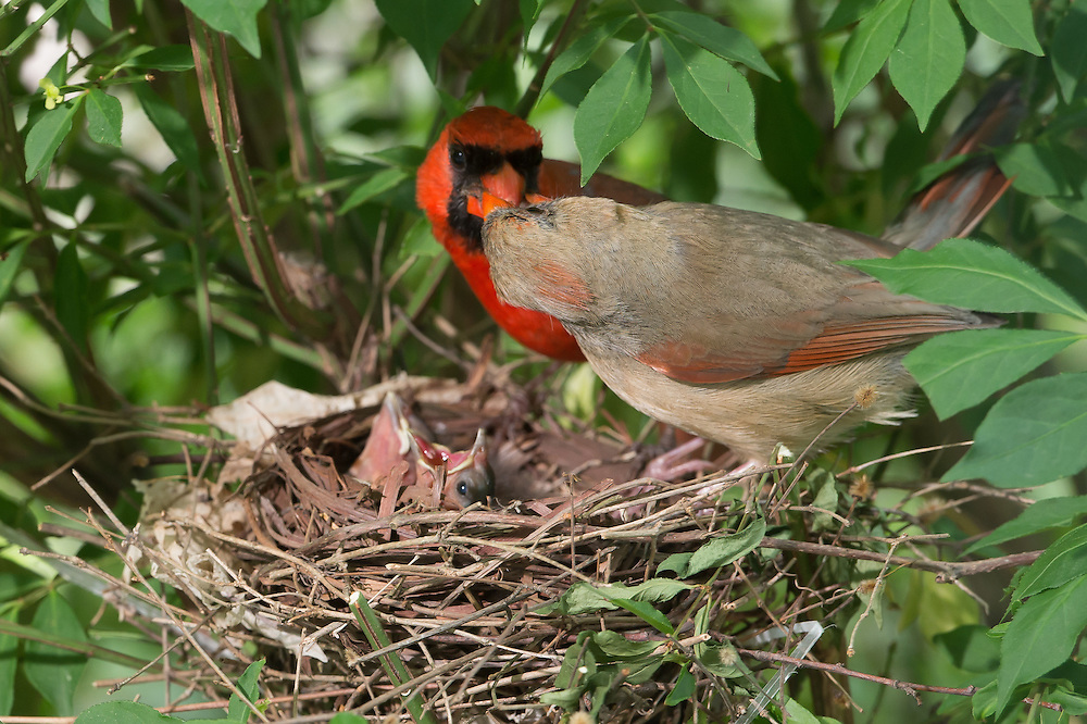 """The Kiss""  Male cardinal bring food in for exchange with female."