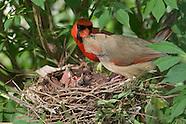 Cardinal Nest Day 5