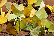 Yellow butterflies cluster around a puddle on a muddy track at Iguazu Falls. Iguazu Falls straddle the border between Argentina and Brazil.