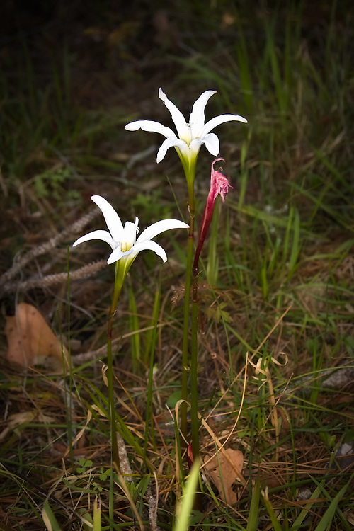 Zephyr lilies growing on the side of the road in the St. Marks National Wildlife Refuge in North Florida.