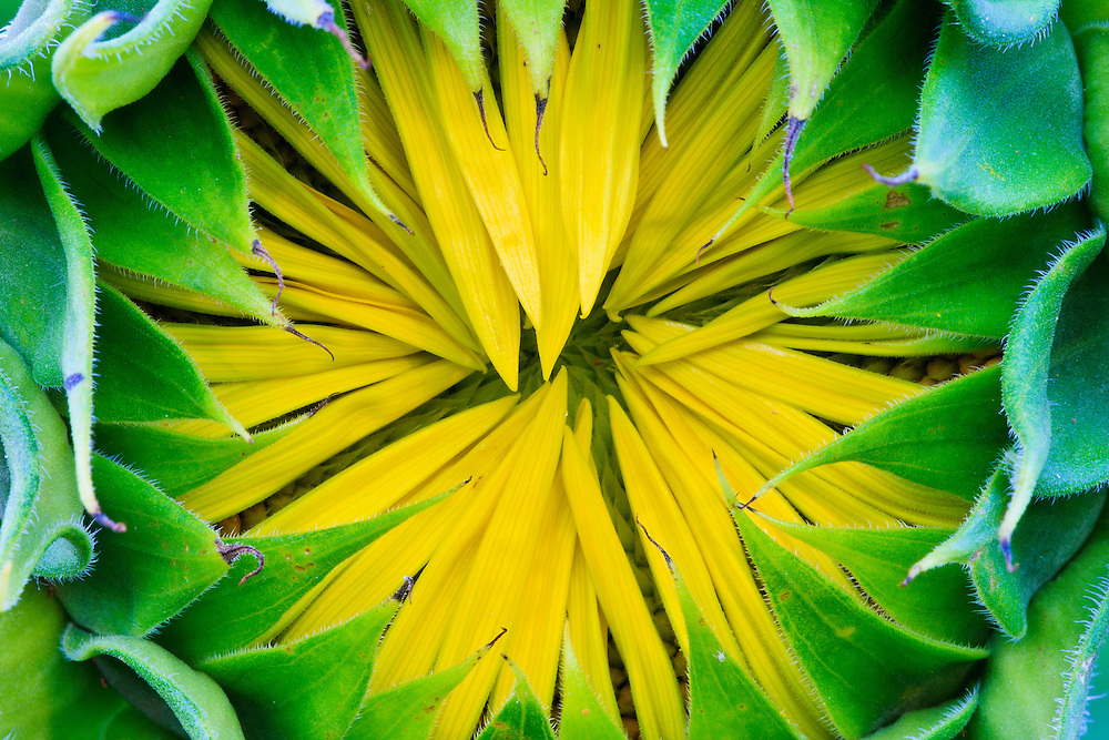 Close-up image of the opening head of a sunflower (Helianthus annuus), McKee-Beshers Wildlife Management Area, Poolesville, Maryland.