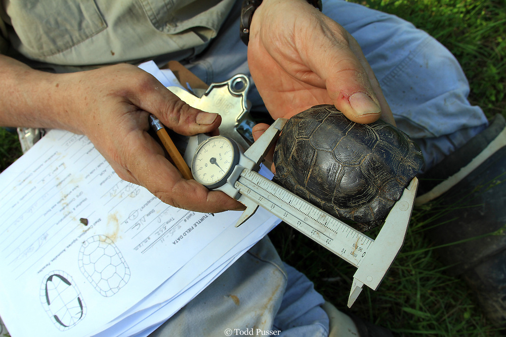 Herpetologist measuring a threatened bog turtle (Clemmys muhlenbergi). Wilkes County, North Carolina, USA
