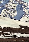 Caribou, Caribou Herd, Herd, Denali, Denali National Park, Alaska